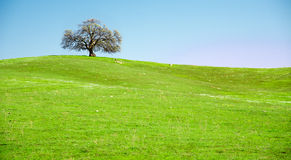 Lonely Tree on Green Hill Royalty Free Stock Photography