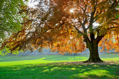 Lonely tree on a green lawn. Park on a sunny day. Royalty Free Stock Photography