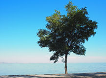 Lonely tree with green leaves on the coast Royalty Free Stock Photos