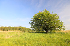 Lonely tree on a green meadow Royalty Free Stock Photography