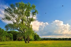 Lonely tree on a green summer meadow. Under blue cloudy sky Royalty Free Stock Photos