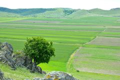 Lonely tree and green wheat field Stock Images