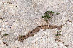A lonely tree growing in the middle of the rock. A lonely green tree growing in the middle of the rock Royalty Free Stock Images