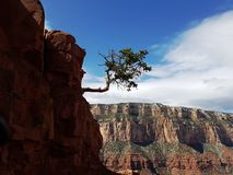 Lonely tree growing on south rim grand canyon cliffs Royalty Free Stock Image