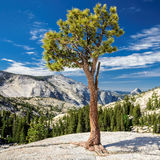Lonely tree growing on top of the rock. Royalty Free Stock Photography
