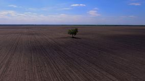 A lonely tree grows in the field. View from above stock video