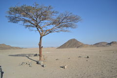 Tree. Lonely tree in the heart of the desert Royalty Free Stock Images