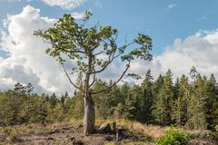 Lonely tree on hill. Lonely tree in autumn view to the forest Stock Photography
