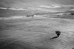 Lonely tree on the hills of Tuscany, Royalty Free Stock Images