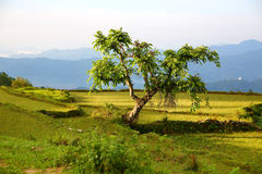 Lonely tree at himalayas mountains Stock Image