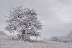 Lonely tree in hoar-frost Royalty Free Stock Photography