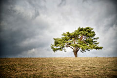 Lonely tree on horizon. Lonely fir tree on horizon. Dark clouds on the sky Stock Images