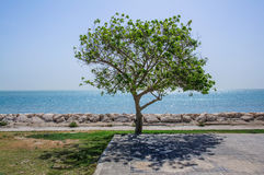 A lonely tree. This image was taken in Khobar, Saudi Arabia Royalty Free Stock Images