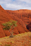 Lonely tree in Kata Tjuta (the Olgas) Royalty Free Stock Image