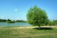 Lonely tree by the lake Royalty Free Stock Image