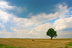 Lonely tree in the landscape. Spring tree in yellow countryside field under cloudscape Royalty Free Stock Image