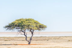 Lonely tree landscape with the Etosha Pan in the back. A lonely tree landscape with the Etosha Pan in Northern Namibia in the back Royalty Free Stock Photo