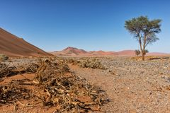 Lonely tree landscape with shrubs and red dunes in the Namibia desert. Sossusvlei. Africa royalty free stock photo