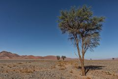 Lonely tree landscape with shrubs and red dunes in the Namibia desert. Sossusvlei. Africa royalty free stock images