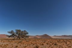 Lonely tree landscape with shrubs and red dunes in the Namibia desert. Sossusvlei. Africa stock image