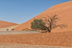 Lonely tree landscape with shrubs and red dunes in the Namibia desert. Sossusvlei. Africa stock photos