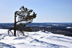 Lonely tree in Lapland Royalty Free Stock Images