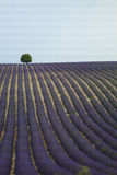 Lonely tree on a lavender field Royalty Free Stock Photo