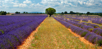 Lonely tree in Lavender field Stock Image