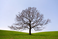 Lonely tree without leaves Royalty Free Stock Images