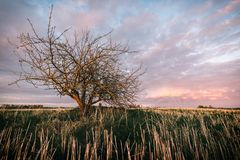 Lonely tree without leaves in a fields in sunset. royalty free stock photography