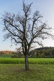 Lonely tree without leaves on a green field royalty free stock images