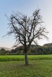 Lonely tree without leaves on a green field royalty free stock image