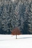 Lonely tree. With brown leaves in winter standing in a middle of a field covered with snow with forest in the background royalty free stock photos