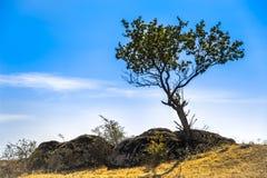 A lonely tree. In stones of Aktovskiy Canyon, Nikolaev region, Ukraine Royalty Free Stock Photos