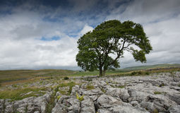 Lonely Tree Malham in the Yorkshire Dales. Solitary tree in limestone at Malham in the Yorkshire Dales. Rolling hills, sky and cloud background Stock Photo