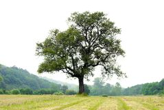 Lonely tree on meadow Stock Photography