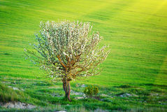 Lonely tree in meadow Royalty Free Stock Image