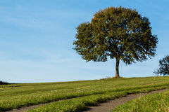 Lonely tree on a meadow Royalty Free Stock Photo