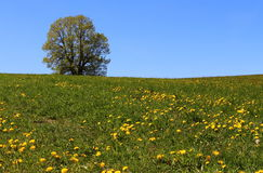 The lonely tree. On the meadow Stock Images