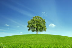 Lonely tree at the meadow Royalty Free Stock Photography