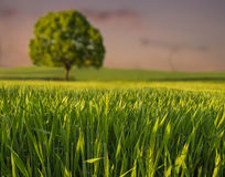 Lonely tree. On a meadow in the grass Stock Images