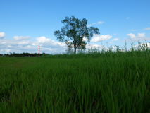 A lonely tree in a meadow Stock Photography