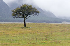 Lonely tree on meadow. Lonely single tree on a meadow by autumn day with fog and mist in a mountain area Stock Photo