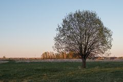 A lonely tree in the middle of a field against a village. Gorgeous crown. Half-open leaves. Spring landscape stock images
