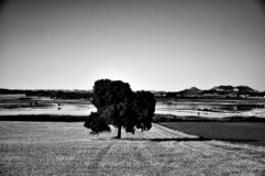 Nature banner with lonely tree in the middle of the field. Lonely tree in the middle of the field. Black and white royalty free stock images