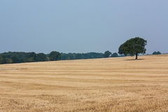 Lonely tree. Lonely tree in the middle of stubble. In the distance they published woods Royalty Free Stock Image