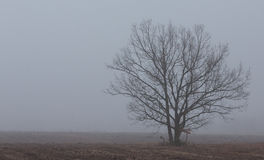 Lonely tree in misty morning. Deciduous lonely tree in late fall misty morning,Poland Europe Royalty Free Stock Photography
