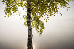 Lonely tree in misty morning Royalty Free Stock Image