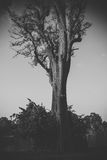 Lonely tree. Monochrome Royalty Free Stock Image
