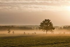 Lonely tree and morning mist Stock Photos
